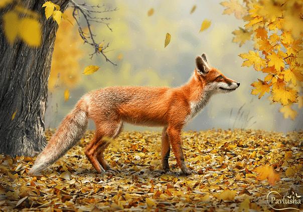 Коллаж с рыжей лисой - Рыжая осень